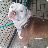 American Pit Bull Terrier Mix Dog for adoption in Paris, Illinois - Wyatt