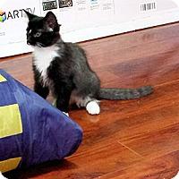 Domestic Mediumhair Kitten for adoption in Verdun, Quebec - Vegas