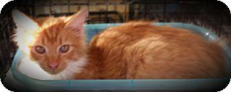 Domestic Longhair Kitten for adoption in Fairborn, Ohio - Sunny