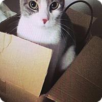 Domestic Shorthair Cat for adoption in Ridley Park, Pennsylvania - Ireland
