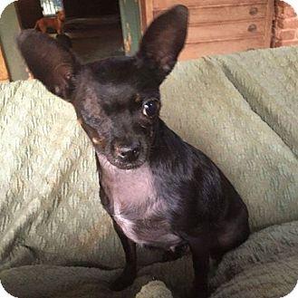 Chihuahua Mix Dog for adoption in North Brunswick, New Jersey - Luna