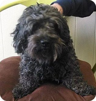 Lhasa Apso Mix Dog for adoption in E. Wenatchee, Washington - Katy