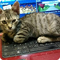 American Shorthair Kitten for adoption in Texarkana, Arkansas - Silber