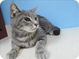 Domestic Shorthair Cat for adoption in Portland, Oregon - Anna
