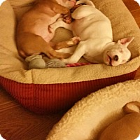 Pit Bull Terrier/American Bulldog Mix Dog for adoption in Wyoming, Michigan - Snap