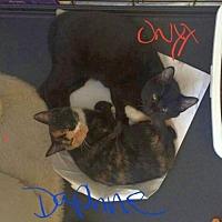 Adopt A Pet :: XP Daphne and Onyx Kittens - Rockaway, NJ