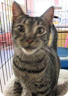 Domestic Shorthair Cat for adoption in Reeds Spring, Missouri - Dudley