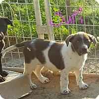 Adopt A Pet :: Suri - Sussex, NJ