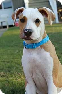 American Pit Bull Terrier Mix Dog for adoption in Snellville, Georgia - Buddy
