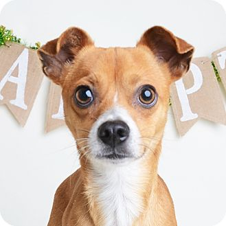 Mixed Breed (Small)/Chihuahua Mix Dog for adoption in Wilmington, Delaware - Giuseppe