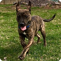 Plott Hound Mix Puppy for adoption in St Louis, Missouri - Pippin