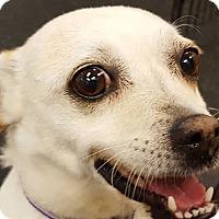 Adopt A Pet :: Lucy - Lafayette, CA