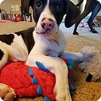 Adopt A Pet :: Taylor - Aurora, CO