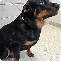 Adopt A Pet :: Bentley - Shorewood, IL