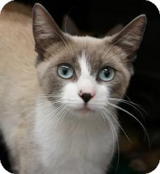 Snowshoe Kitten for adoption in lake elsinore, California - Willa