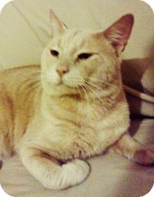 Domestic Shorthair Cat for adoption in Medford, Massachusetts - Yoda
