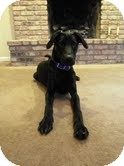 Labrador Retriever Mix Dog for adoption in Lewisville, Indiana - Brock