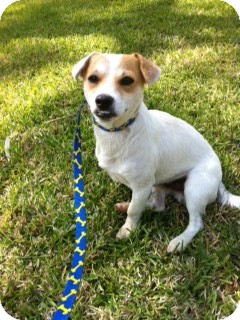 Jack Russell Terrier Mix Dog for adoption in Houston, Texas - Mac in Houston