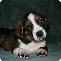 Adopt A Pet :: Sammy - La Habra Heights, CA