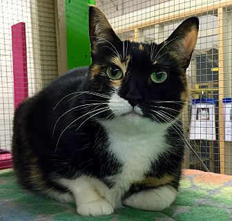 Domestic Shorthair Cat for adoption in Wilmington, Delaware - Flicker