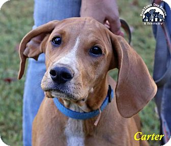 Boxer/Hound (Unknown Type) Mix Puppy for adoption in Jasper, Georgia - Carter