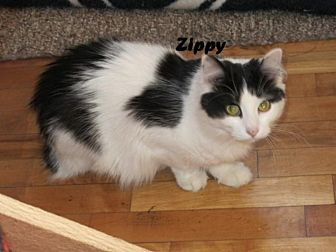 Domestic Longhair Cat for adoption in Houlton, Maine - Zippy