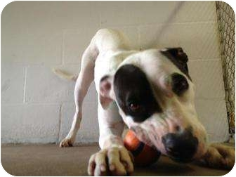 Hound (Unknown Type)/American Pit Bull Terrier Mix Dog for adoption in Winter Haven, Florida - Esther