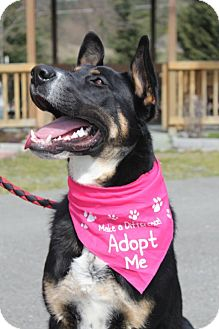 Bernese Mountain Dog/Shepherd (Unknown Type) Mix Puppy for adoption in Grants Pass, Oregon - Jake