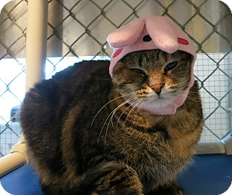 Domestic Shorthair Cat for adoption in Geneseo, Illinois - Tigera