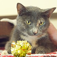 Domestic Shorthair Cat for adoption in Chattanooga, Tennessee - Twinkle
