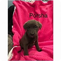 Adopt A Pet :: Porsha - Marlton, NJ