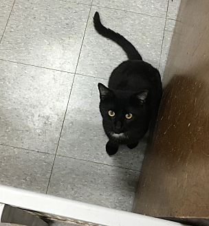Bombay Cat for adoption in Everman, Texas - Tuesday