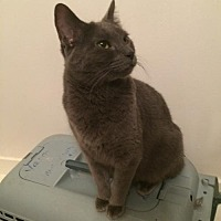 Domestic Shorthair Cat for adoption in Montreal, Quebec - Athena