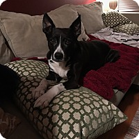 Adopt A Pet :: Beans - Chicago, IL