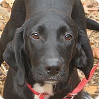 Adopt A Pet :: Apollo - Allentown, PA