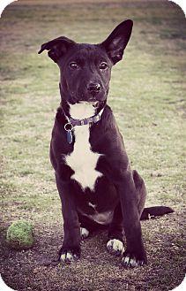 Labrador Retriever/Terrier (Unknown Type, Small) Mix Puppy for adoption in Greensboro, Georgia - Nesta- Adopted!