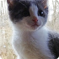 Adopt A Pet :: Comet - N. Billerica, MA