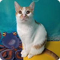 Adopt A Pet :: Scotch - Newport Beach, CA