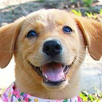 Adopt A Pet :: Kiya - Temple City, CA