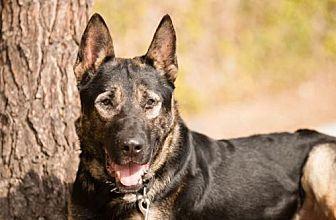 German Shepherd Dog Dog for adoption in Newport Beach, California - Hobo