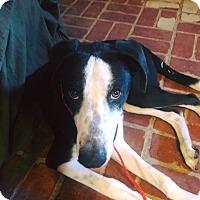 Adopt A Pet :: Chance - El Paso, TX