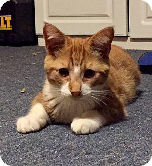 Egyptian Mau Kitten for adoption in Cerritos, California - Buddy