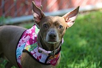 Chihuahua/Dachshund Mix Dog for adoption in Fountain Valley, California - CoCo