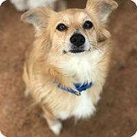 Adopt A Pet :: Buttercup - Atlanta, GA