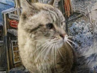 Siamese Cat for adoption in Fairfield, California - OSCAR