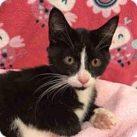 Adopt A Pet :: Oreo - Fairfax, VA