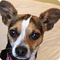 Fox Terrier (Smooth)/Chihuahua Mix Dog for adoption in Little Rock, Arkansas - Bishop