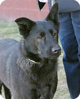 German Shepherd Dog Mix Dog for adoption in Springfield, Illinois - Cherry