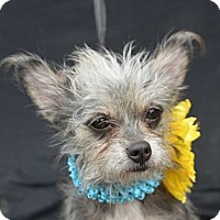 Adopt A Pet :: Trixie - Plano, TX
