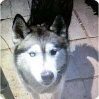 Adopt A Pet :: Smokey - Sterling Hgts, MI